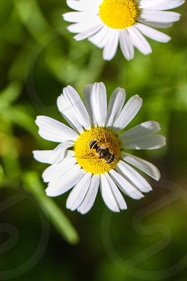 photography of white and yellow flower with yellow bee photo