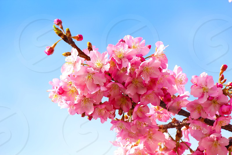 pink cherry blossoms low-angle closeup photography at daytime photo