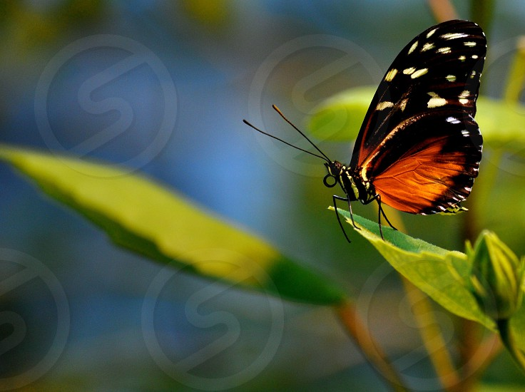 Butterfly perches on a leaf photo