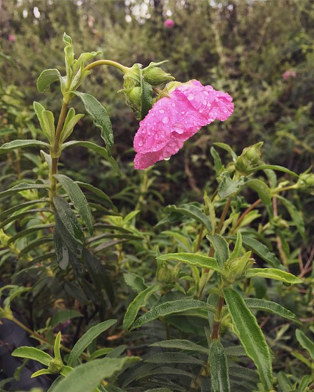 microscopic photoshoot of pink flower photo