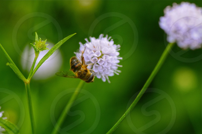 yellow bee on lavender photo
