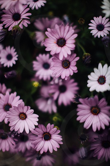 selective focus photography of purple and white petaled flower with black and yellow stigma photo