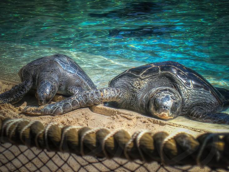 two black turtles on brown sand photo