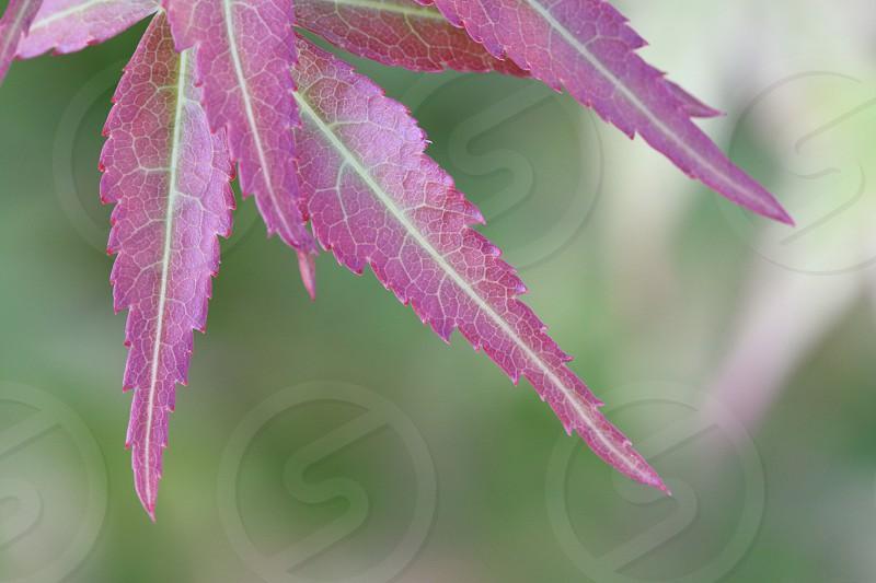 macro view of purple leaf photo