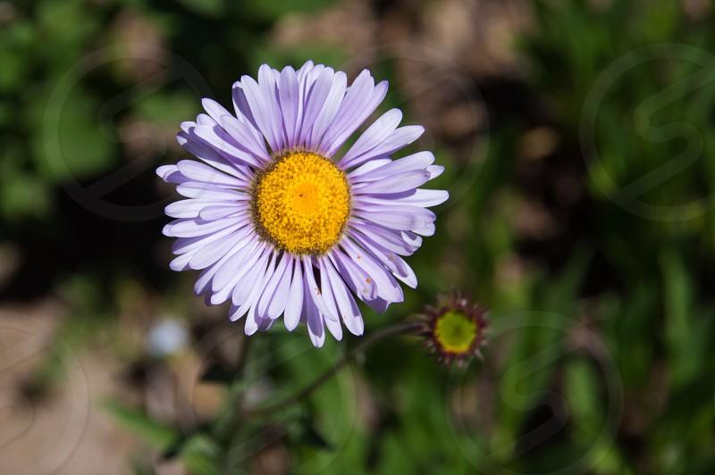 Flower purple daisy field spring summer petals photo