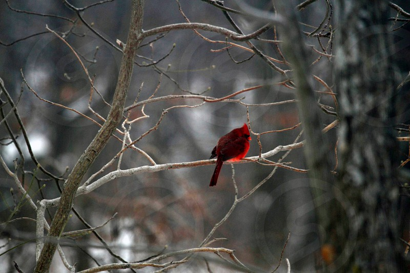 Northern cardinal braving the elements. photo