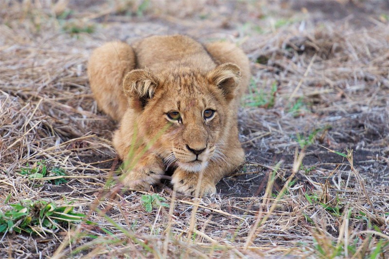 A lion cub on guard in Sabi Sabi Reserve of Kruger National Park in South Africa. photo