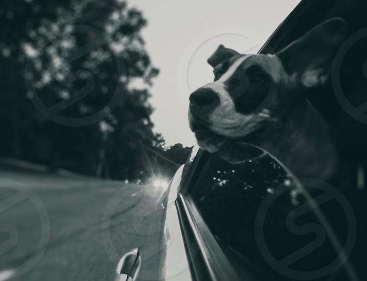 brown and white american bulldog photo