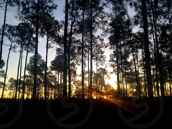 Dawn in a coastal pine forest. photo