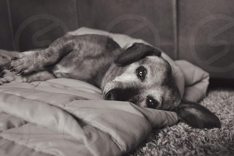 dog lying on blanket photo