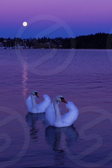 2 white swans on water photo