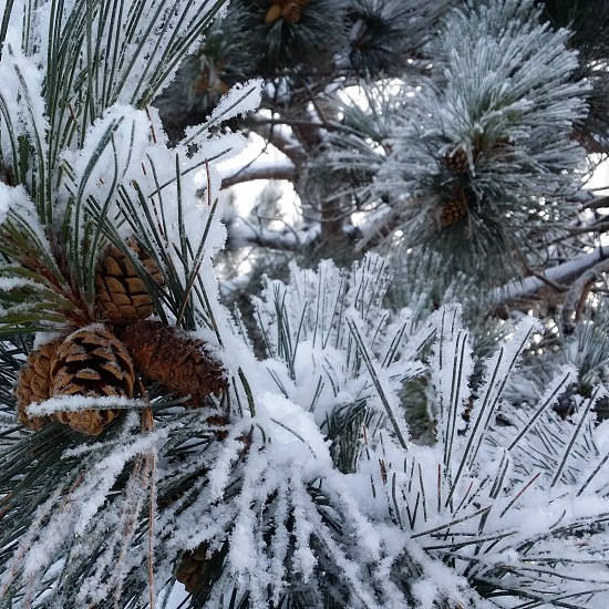 Snow snowy branch  pinecone  snow covered winter pine pine branch photo