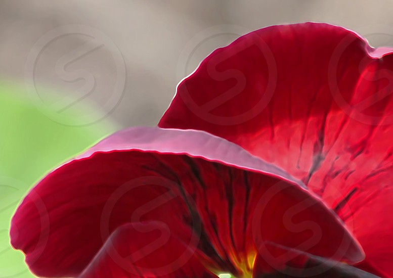 Pansy Delight photo