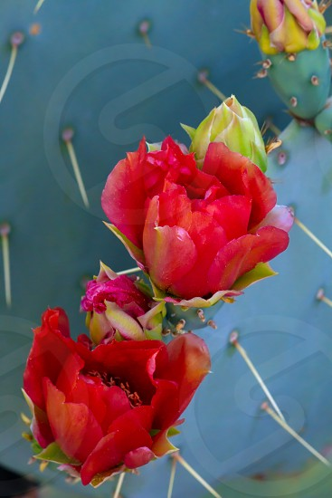 A detail shot of a blooming prickly pear cactus. photo
