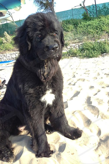 large breed black and white long haired dog sitting in sand photo