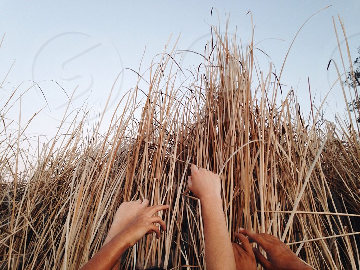 human hands holding brown grass photo