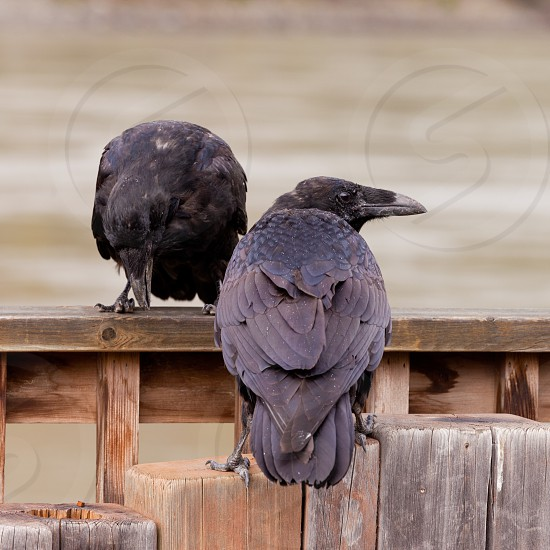 Pair of Common Ravens Corvus corax interact perched on wooden structure photo