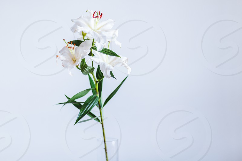 Branch of a white lily in a vase photo