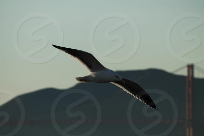 A seagull in the San Francisco bay.  photo