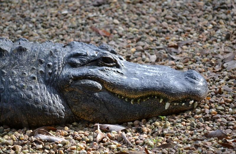 Croc crocodile smile  photo