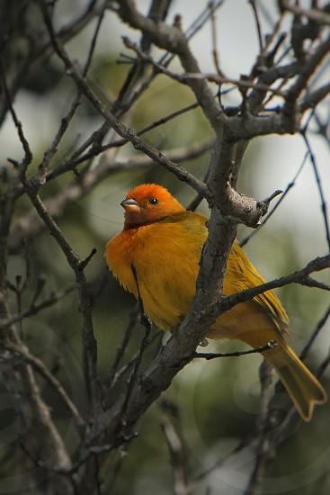 Saffron Finch at Hawaii volcano national park photo