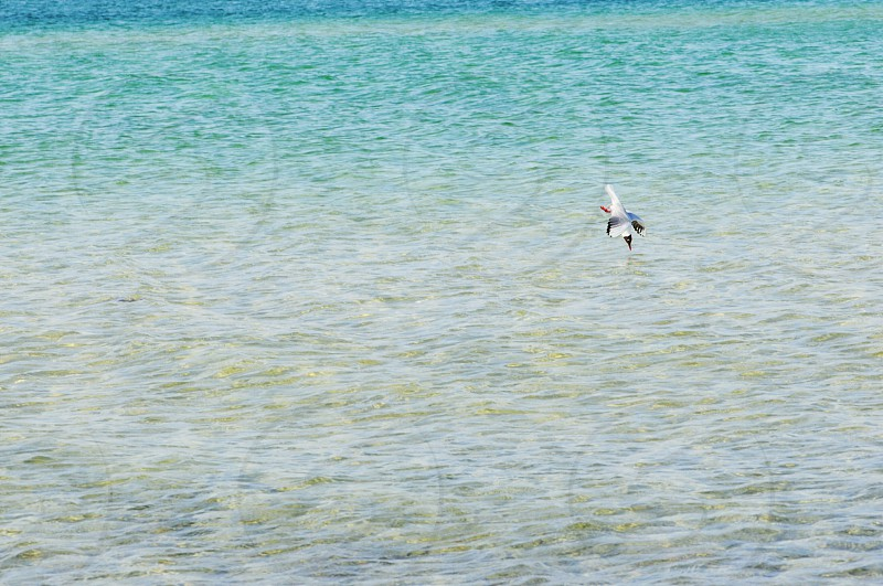 seagull diving into the baltic sea for fishing photo