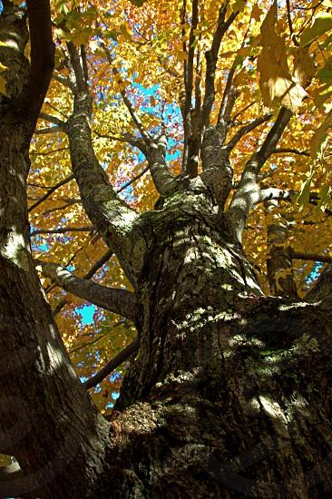 Looking upward at Autumn glory. photo