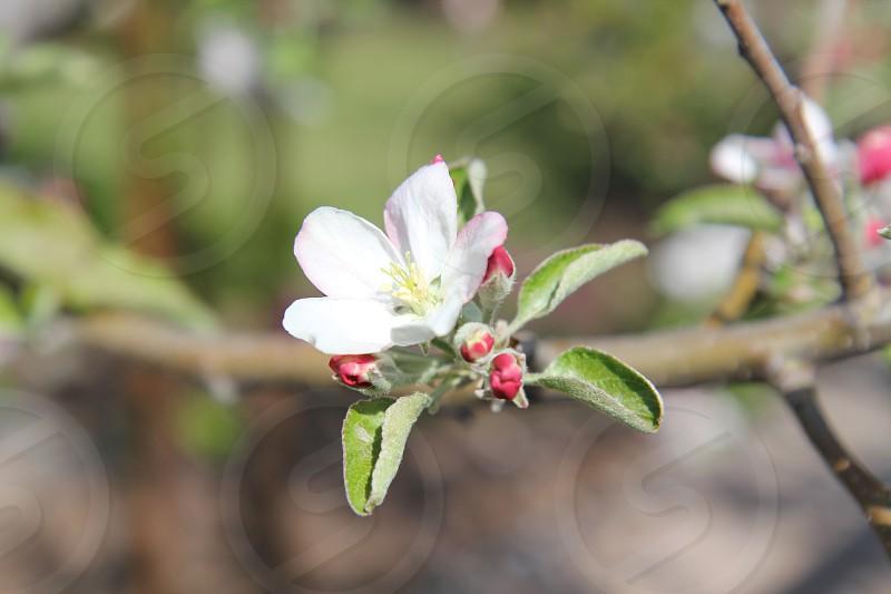 Blossom on a tree.  photo