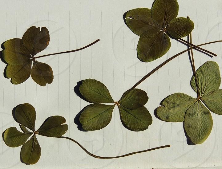 Four Leaf Clovers photo