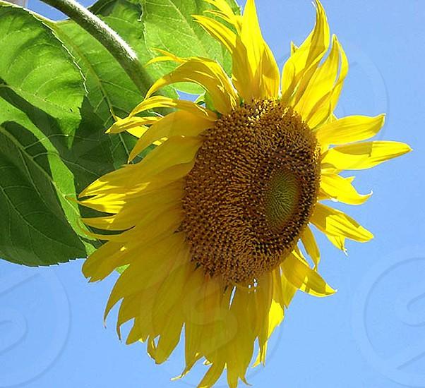 Yellow sunflower against blue sky photo