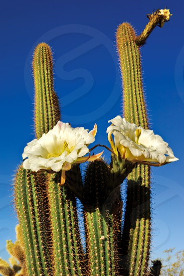 The large white blossoms of the night blooming Trichocereus Spachianus Cactus also known as the Golden Torch and the Golden Column Cactus. photo
