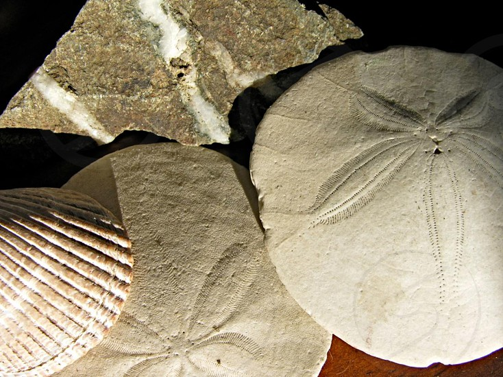 Closeup of sand dollars shells and a rock with quartz line. photo