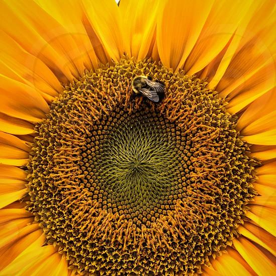 Bee in sunflower photo