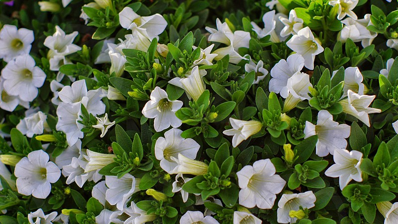 white petunia in bloom photo