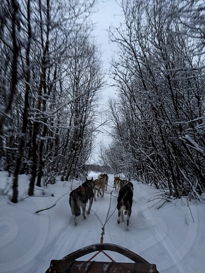 Finland husky Arctic circle snow  photo