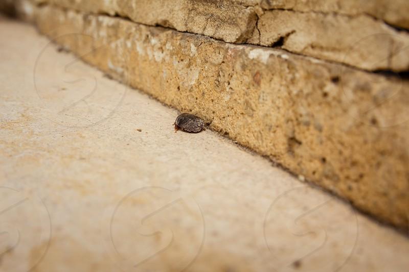 Female desert sand cockroach (Arenivaga africana). photo
