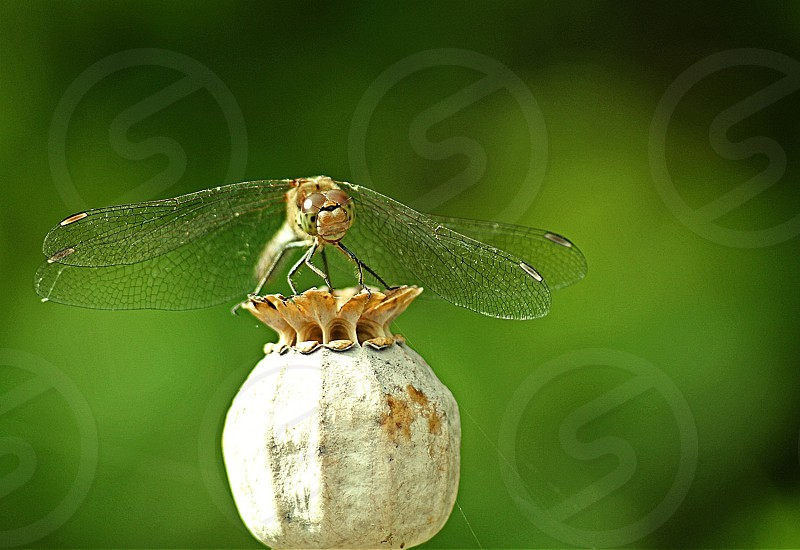 brown dragonfly on white fruit macro photography photo
