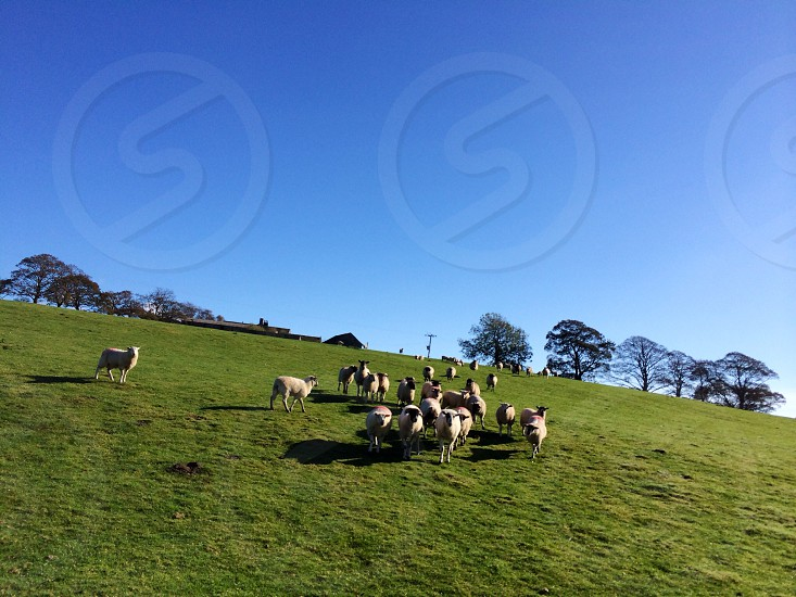 Field sheep farm photo