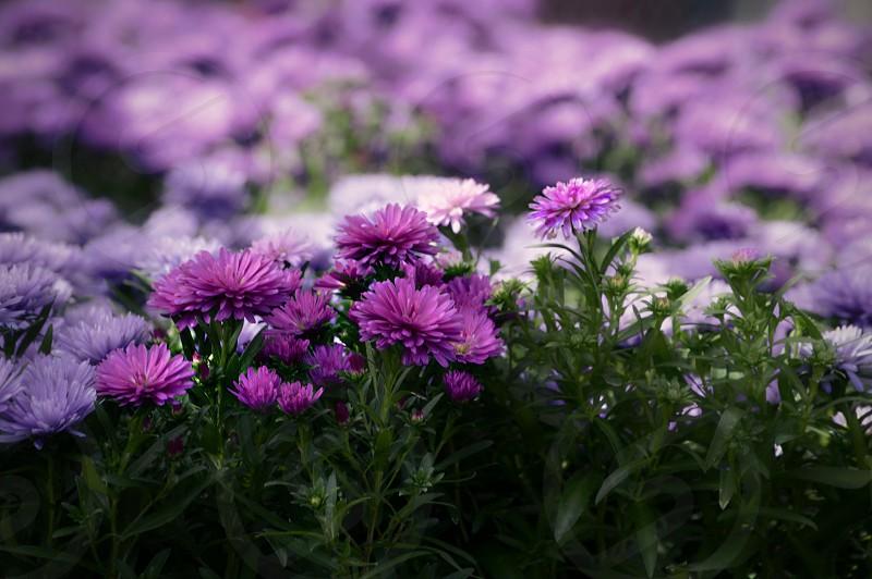 A sea of purple mums photo