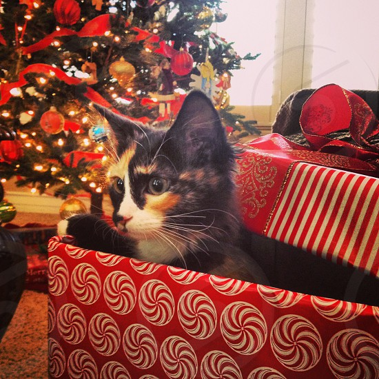 calico cat in red christmas gift box photo