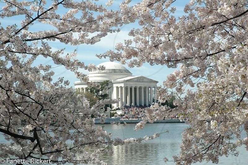 cherry blossom DC sunrise tidal basin flowers photo