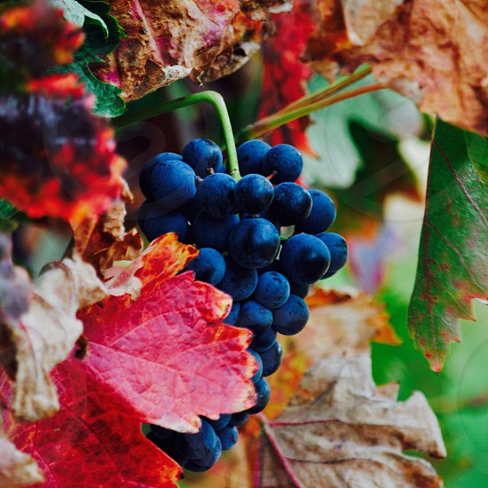 purple grapes surrounded by grape leaves in closeup photography photo