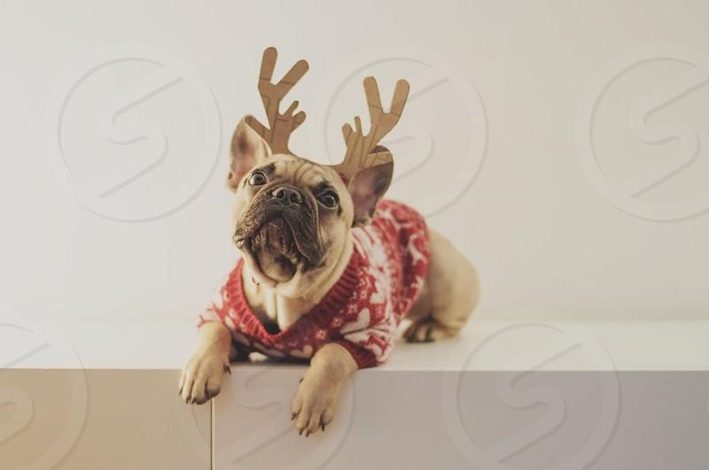 pug dog costumed in raindeer costume photo