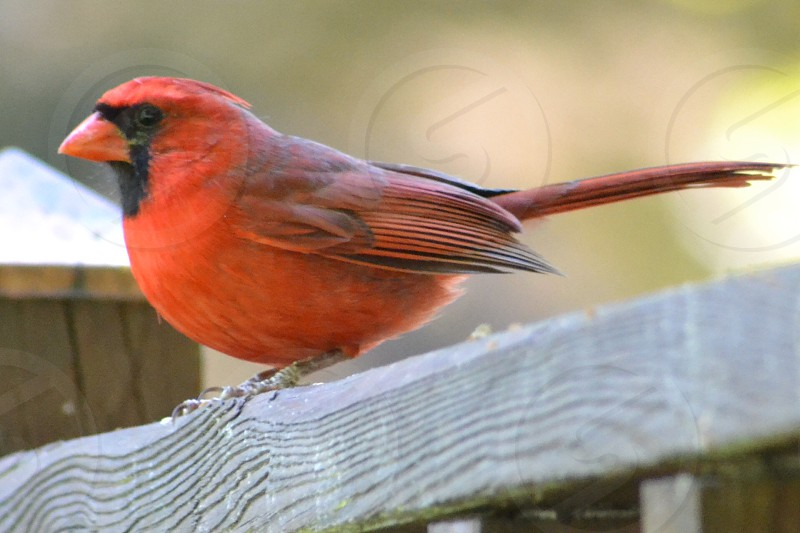 red cardinal on wood photo