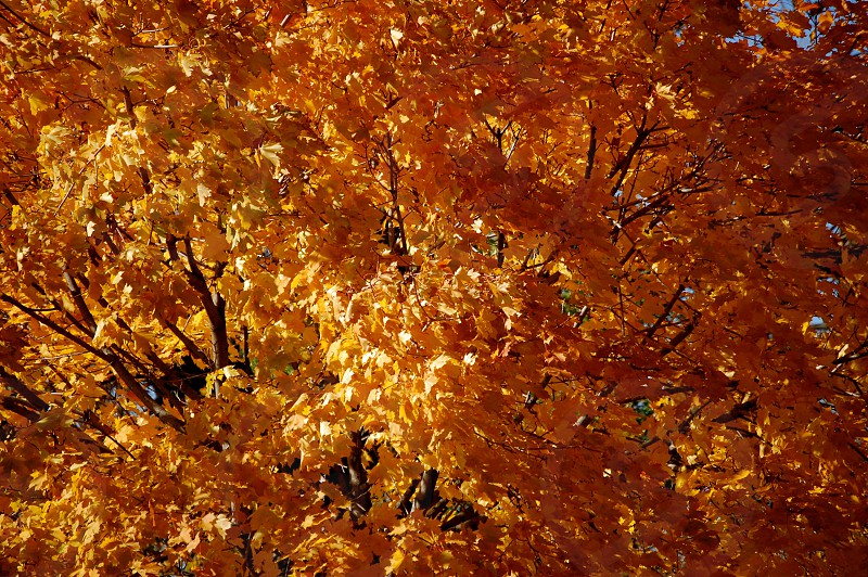 Yellow and orange leaves in autumn photo
