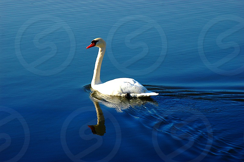 Swan reflection in a lake photo