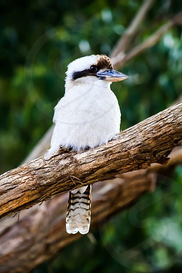 There's always a kookaburra or two at the park near my work... this one loves getting its picture taken.... photo