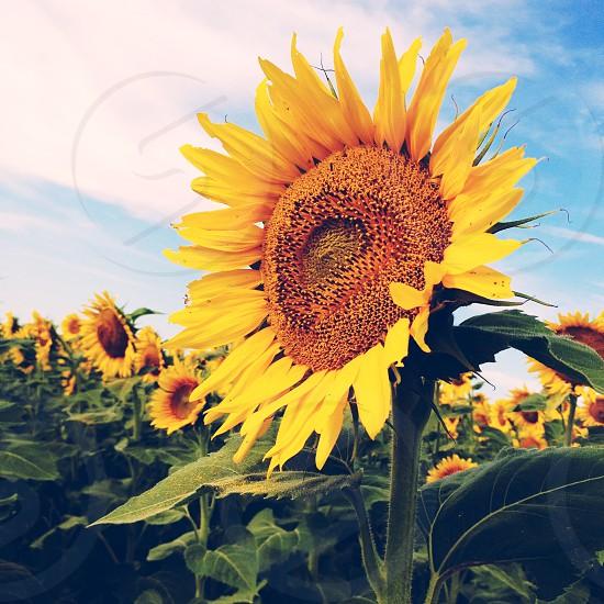 sunflower view  photo