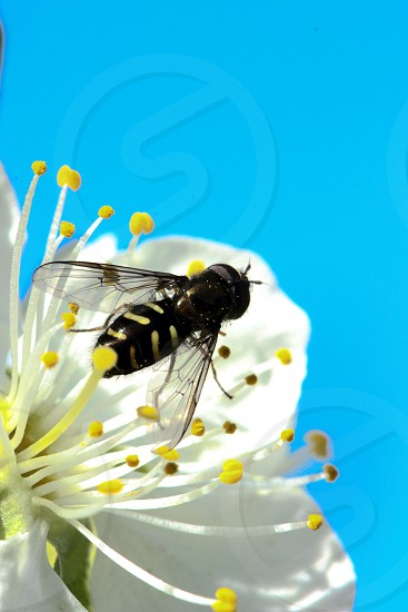 black and yellow striped bug on a white flower photo