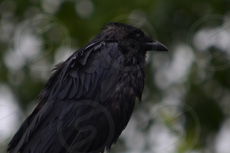 Crow in the rain photo